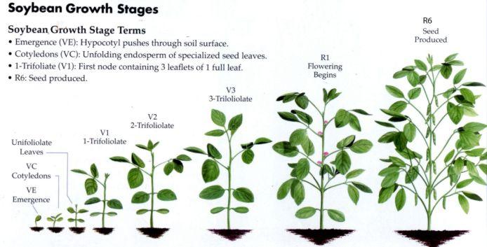 Kết quả hình ảnh cho vẽ sơ đồ phát triển của cây đậu, con người châu chấu và con ếch