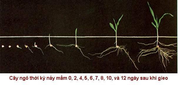 Image result for quá trình nảy mầm của hạt ngô