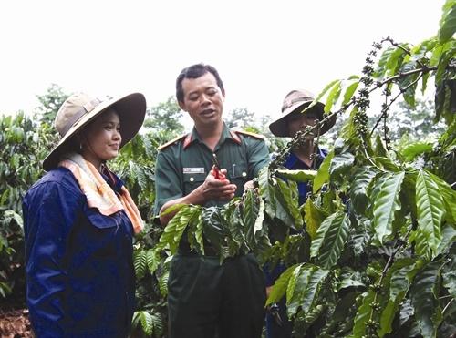 Kỹ thuật chăm sóc cây cà phê sau vụ thu hoạch