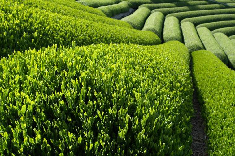 quy trình trồng và chăm sóc cây chè