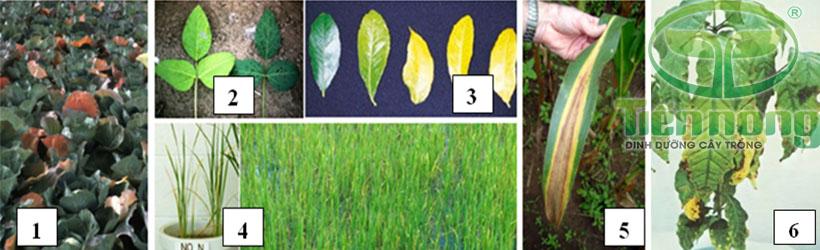 Biểu hiện thiếu đạm: 1- trên cây bắp cải; 2- trên cây đậu tương; 3- trên cây cam; 4-trên cây lúa; 5-trên cây ngô; 6- trên cây cà phê