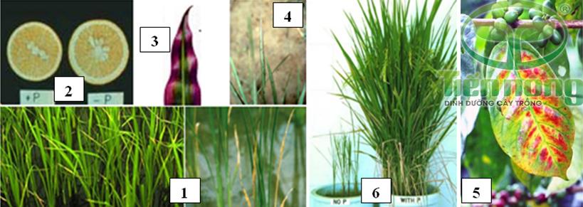 Biểu hiện thiếu lân: 1- trên cây lúa; 2- trên quả cam; 3- trên lá cây ngô; 4- trên cây hòa thảo; 5- trên cà phê 6- so với đủ lân lúa thiếu lân trầm trọng không thể đẻ nhánh và trổ bông