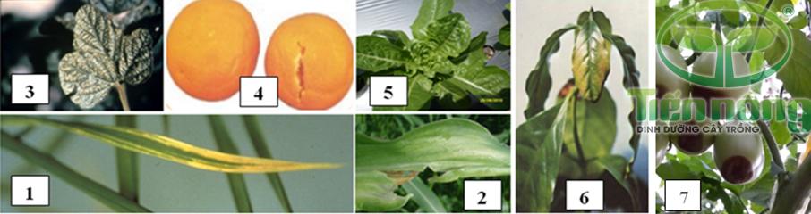 Biểu hiện thiếu Canxi: 1- trên lá lúa; 2- trên lá ngô; 3- trên lá cây đậu tương; 4- trên quả cam; 5- trên cây rau diếp; 6- trên cây cà phê; 7- trên quả cà chua