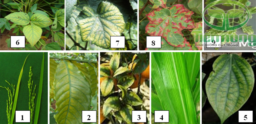 Biểu hiện thiếu Magiê: 1- trên cây lúa; 2- trên lá cà phê; 3- trên lá cam; 4- trên lá ngô; 5- trên lá tiêu 6- trên lá đậu tương; 7- trên lá nho; 8- trên lá cây bông; 9- trên lá cà chua