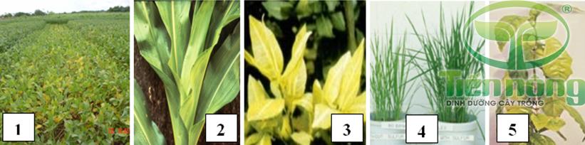 Biểu hiện thiếu lưu huỳnh: 1- trên cây đậu tương; 2- trên cây ngô; 3- trên cây cam quýt; 4- trên cây lúa; 5- trên cây cà phê