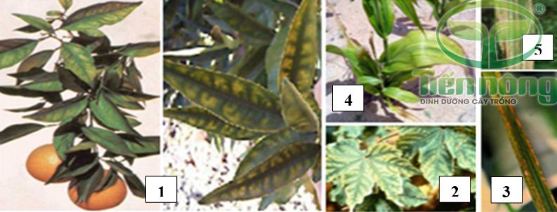 Biểu hiện thiếu kẽm: 1- trên cây cam; 2- trên cây bông; 3- trên lá lúa; 4- trên cây ngô; 5- trên lá mía