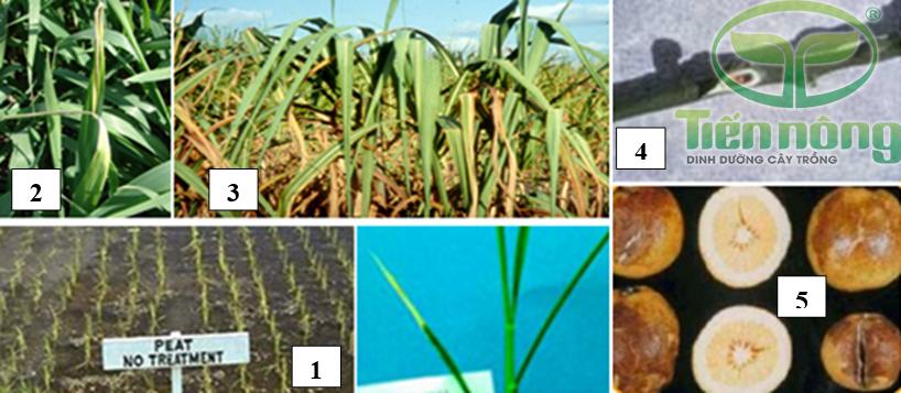 Biểu hiện thiếu đồng: 1- trên cây lúa; 2- trên cây hòa thảo; 3- trên lá mía; 4- trên cành cam; 5- trên quả cây có múi