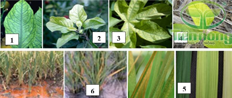 Biểu hiện thiếu sắt: 1- trên lá cam, quýt; 2- trên lá, ngọn cây táo; 3- trên lá cây bông; 4- trên lá đậu tương; 5- trên lá lúa; 6- hiện tượng ngộ độc sắt trên cây lúa